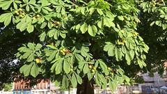 Horse Chestnut (Aesculus hippocastanum) - leaves & fruit - August 2018 (Exeter Trees UK) Tags: horse chestnut aesculus hippocastanum leaves fruit august 2018