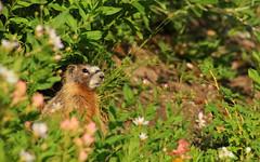 Yellow-bellied marmot (Marmota flaviventris avara) (phl_with_a_camera1) Tags: nature utah morning sunrise yellowbellied marmot marmota flaviventris yellow bellied animal wildlife mammal rodent avara