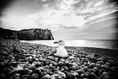 3270 (Elke Kulhawy) Tags: etretat monochrome bw bnw blckandwhite strand meer wasser möwe 35mm steine felsen rocks landschaft beach bucht