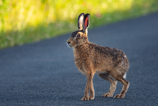 Brown Hare - Forest of Bowland