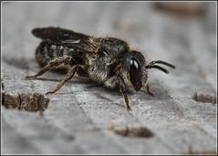 Stelis phaeoptera? (Ed Phillips 01) Tags: stelis phaeoptera plain dark bee insect macro mpe staffordshire