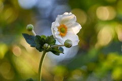 Anemone (agnieszka.a.morawska) Tags: beyondbokeh bokehlicious bkhq summer helios44m helios garden macro dof anemone anemon bokeh