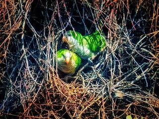 El que es perico en cualquier lugar es verde.