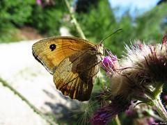 Butterfly 1709 (+1300000 views!) Tags: butterfly borboleta farfalla mariposa papillon schmetterling فراشة