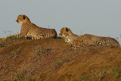Cheetah with 2 Cubs ( with different characters...) (cirdantravels (Fons Buts)) Tags: carnivora carnivore bigcat cheetah gepard guépard jachtluipaard felidae acinonyxjubatus ngc cirdantravels fonsbuts predator wildafrica africansafari feline felindae felinae