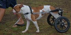 Canine Wheels (Scott 97006) Tags: dog canine animal paraplegic mobility ambulatory