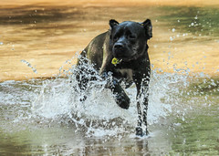 Playing with water (katal.photography) Tags: dog water doginwater dogs animal animals river playing play boxer movement movment running correr movimiento perro
