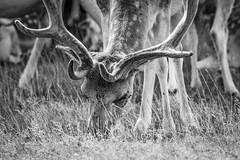 B&W Buck feeding (jayneboo) Tags: attingham park national trust fallow deer wild herd buck feeding flies pests grass bw mono cl leica