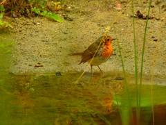 Robin - Rotkehlchen (Sophia-Fatima) Tags: pond gartenteich wassergarten mygarden meingarten naturgarten gardening robin rotkehlchen