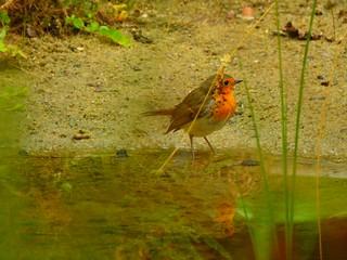 Robin - Rotkehlchen