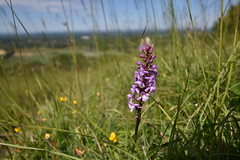Fragrant Orchid (PLawston) Tags: uk britain england midsussex link border path sussex east south downs national park burnhouse bostall fragrant orchid flower