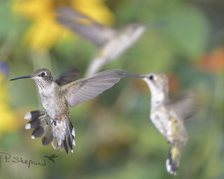 those little birds  8-3-18_333