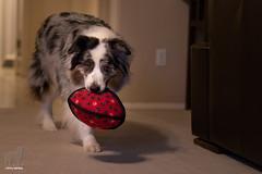 Back from the hunt (Jasper's Human) Tags: aussie australianshepherd dog toy oddball tuffy