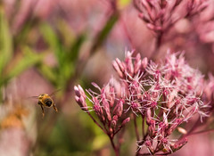 bzzz (d2roberts) Tags: joepye honeybee bug flowers pink bokeh macro