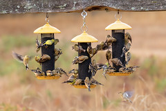 Goldfinch Mob I (dennis_plank_nature_photography) Tags: americangoldfinch avianphotography thurstoncounty birdphotography naturephotography bird feeders juveniles wa avian home littlerock nature