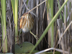 Least Bittern (AmandaWilmarth) Tags: marsh bittern least birding birds canon nature photography wildlife wild water bird watching breeding new hampshire