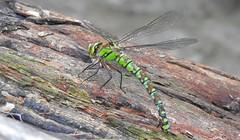 Southern Hawker Dragonfly (Aeshna cyanea) (Nick Dobbs) Tags: insect dragonfly hawker southern male heath heathland dorset aeshna cyanea