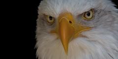 Under control (pe_ha45) Tags: weisskopfseeadler baldeagle rapace raptor greifvogel haliaeetusleucocephalus falconry fauconnerie falknerei pyargueàtêteblanche àquilacalva aquiladimaretestabianca hellenthal