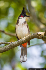 Red Whiskered Bulbul Mai Po Hong Kong China (arainoffphoto) Tags: wetland wildlife hongkong travel nature bird birds tourism park fauna wwf china birding newterritories hk