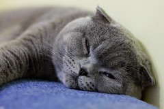 IMG_1794d (volodyainteres) Tags: cat cats kitty kitten pedigreed pedigree gato gatolindo pet animal cute scottishfold meow кішка кіт коти кошка кот киця