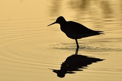 Golden Silhouette (hd.niel) Tags: greateryellowlegs conservationarea park sunrise silhouette shorebirds pond nature wildlife photography kingston ontario