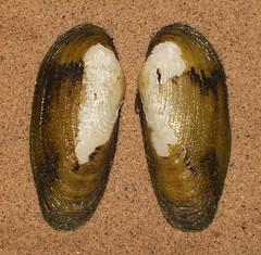 Freshwater mussel (Glauconome rugosa) (shadowshador) Tags: freshwater mussel glauconome rugosa neomura eukaryota opisthokonta holozoa filozoa animalia eumetazoa bilateria protostomia lophotrochozoa mollusca conchifera bivalvia heterodonta euheterodonta veneroida cyrenoidea glauconomidae conchology malacology invertebrate invertebrates taxonomy scientific classification biology shell shells sand sandy beach wildlife life green
