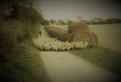 Pastoral Symphony (Julie Rutherford1 ( off/on )) Tags: sussex rural sheep shepherd farmer bales straw field trees julie rutherford wood charleston