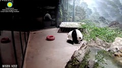 2018_08-15e (gkoo19681) Tags: tiantian dabigguy sohandsome proudpapa adorableears fuzzywuzzy treattime yuckybiscuit givingin toofunny adorable precious picky amazing cooldude meltinghearts ccncby nationalzoo