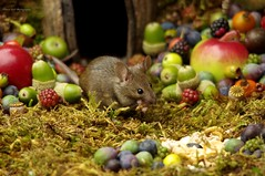 wild mouse eating meal worm (Simon Dell Photography) Tags: wild george log pile house mouse nature garden animal rodent cute fun funny summer fruits berries berrys display lots bounty moss covered simon dell photography sheffield 2018 aug cool awesome countryfile ears close up high detail cards design