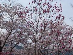 a (15) (hiromi89) Tags: japan beauty beautiful scenery flower wood pond