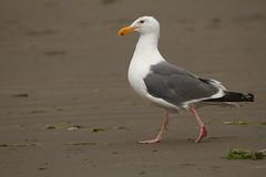 Western Gull (jlcummins - Washington State) Tags: bird oregon westerngull sealrock gull pacificocean