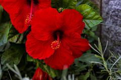 In my garden (celestino2011) Tags: ibisco rosso