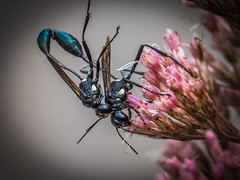 Summer Love 2 (Shannonsong) Tags: wasps insects mating joepyeweed nature hymenoptera wildflower wv threadwaistedwasps