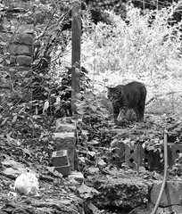Camille (rootcrop54) Tags: camille female mackerel tabby rosetrellis trellis bw blackandwhite neko macska kedi 猫 kočka kissa γάτα köttur kucing gatto 고양이 kaķis katė katt katze katzen kot кошка mačka gatos maček kitteh chat ネコ garden contrast light explore