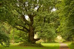 Hangmans Tree. (artanglerPD) Tags: hangmans tree leith hall
