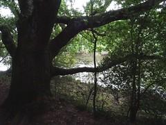The river through the trees (Phil Gayton) Tags: tree scrub foliage shade water river dart riverside walk totnes devon uk oak