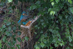 R18_7670 (ronald groenendijk) Tags: cronaldgroenendijk 2018 rgflickrrg alcedoatthis animal bird birds copyrightronaldgroenendijk europe groenendijk holland ijsvogel kingfisher martinpecheur nature natuur natuurfotografie netherlands outdoor ronaldgroenendijk vogel vogels wildlife