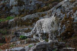 Snow Leopard 20180802 Highland Wildlife Park