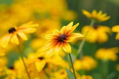 Garden of yellow dreams (Baubec Izzet) Tags: baubecizzet pentax bokeh flower yellow summer flickrunitedaward