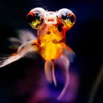 Calico Telescope (Goldfish)  of Sumida Aquarium in Tokyo Sky Tree Town : デメキン(出目金 東京スカイツリータウン・すみだ水族館) thumbnail