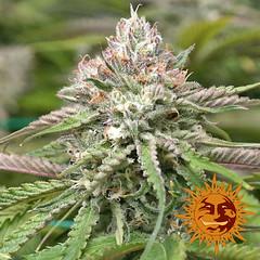 Peyote_Critical_5b4f8ea891769 (Watcher1999) Tags: peyote critical cannabis seeds marijuana barneys farm medical growing weed smoking ganja reggae legalize it
