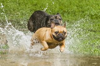 Pug/bulldog at Trinity-Bellwoods Park #4