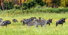 BOTSWANA: WILDEBEEST (GNU) AND ZEBRA (John C. Bruckman @ Innereye Photography) Tags: botswana okavangodelta afrikaans zebra gnu wildebeest wildbeast lions cheetahs wilddogs hyenas grasslands nikon850 coth5