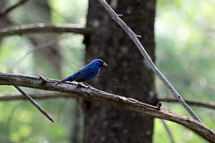 Jacarina Finch (A_Renee_88) Tags: jacarina finch blue bird small macro micro trees nature birds feathers new england