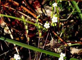 RL Sundew flowers