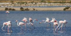 (nadiaorioliphoto) Tags: flamingos uccelli birds aves fenicotteri animals