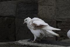 Wounded Soldier (Giorgi Natsvlishvili) Tags: dove pigeon georgia bird gergeti gergetitrinitychurch whitedove whitepigeon