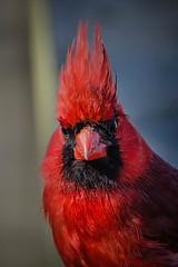 A Portrait in Red (KWPashuk) Tags: nikon d7200 nikkor70300mm lightroom luminar luminar2018 kwpashuk kevinpashuk bird cardinal portrait outdoors royalbotanicalgardens burlington ontario canada