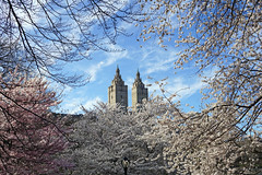 Cherry Blossom at Central Park, New York City (SomePhotosTakenByMe) Tags: centralpark park baum tree kirschblüte cherryblossom sanremo gebäude building architektur architecture usa america amerika nyc newyork newyorkcity stadt city outdoor downtown uptown innenstadt manhattan urlaub vacation holiday cherryhill unitedstates newyorkstate
