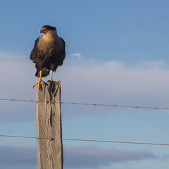 Caracara plancus (Diego_Valdivia) Tags: caracaraplancus traro aves birds sangregorio magallanes patagonia chile estepa paisaje landscape austral canon eos 60d